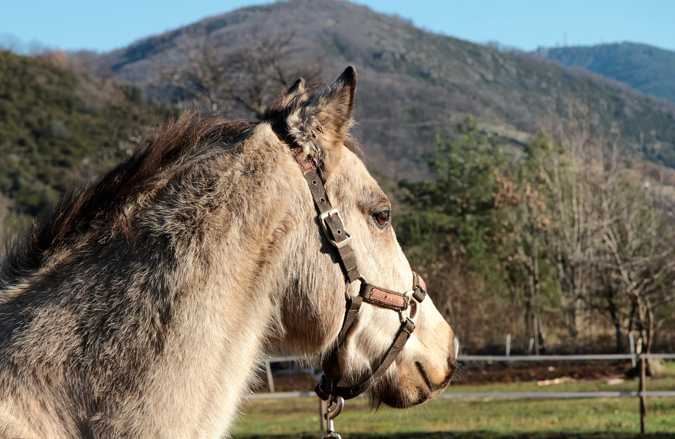 cheval licol